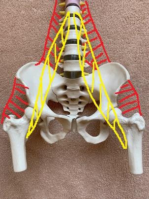 骨盤に付く主な筋肉