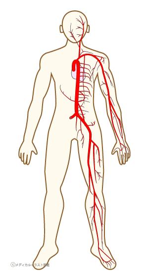 全身の血管の簡易表示