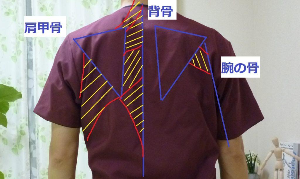 身体の背面 肩甲骨の図